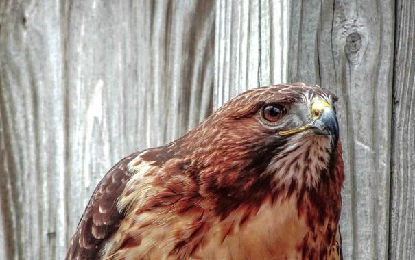 Фото обои взгляд, птица, портрет, хищник, ястреб, канюк, краснохвостый сарыч