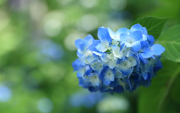 Фото обои макро, голубой, гортензия, соцветие