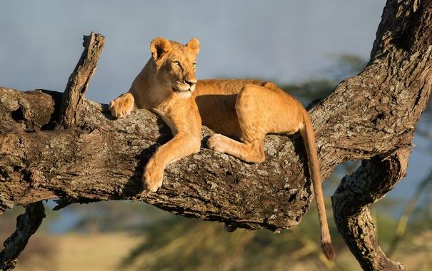 Фото обои дерево, хищник, львица