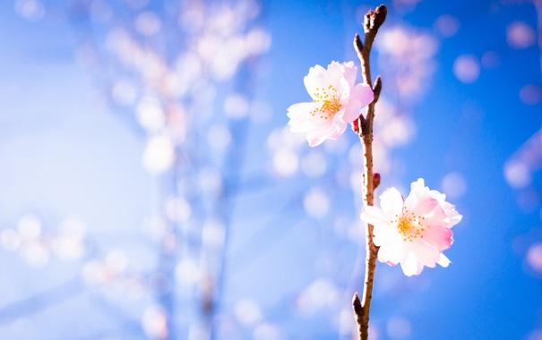 Фото обои красота, солнце, свет, фон, сакура