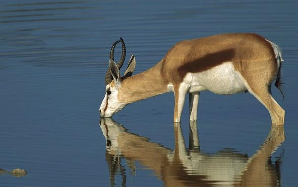Фото обои отражение, рога, водопой, газель