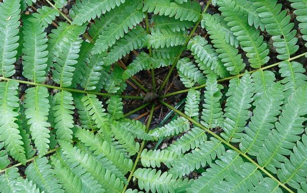 Фото обои листья, растение, Канада, папоротник