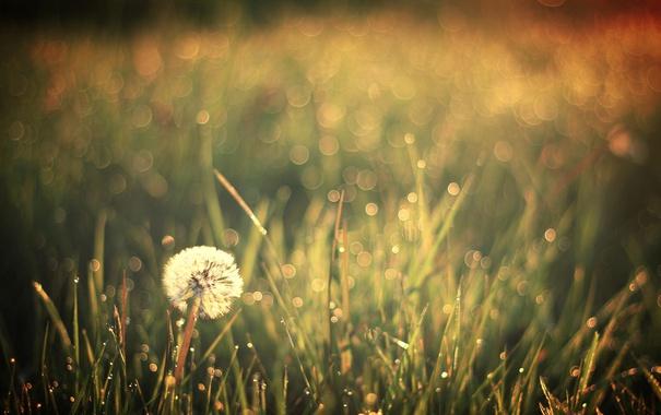 Фото обои поле, природа, одуванчики