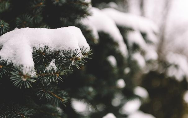 Фото обои снег, иголки, дерево, елка