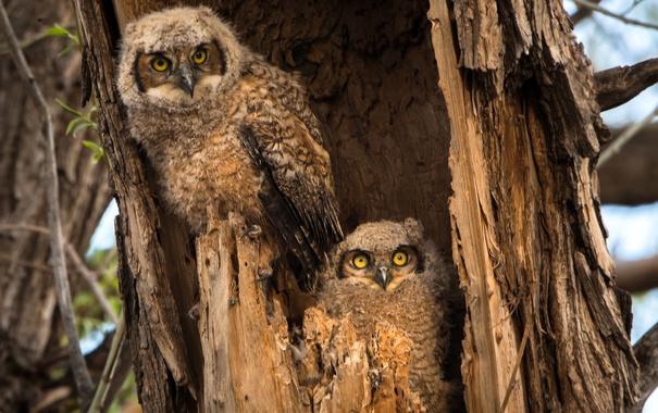 Фото обои птицы, дерево, сова, дупло, совенок