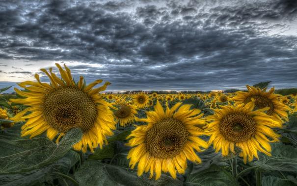 Фото обои поле, небо, облака, подсолнухи, вечер, желтые, hdr