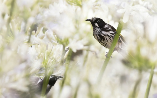 Фото обои цветы, птица, Австралия, медосос