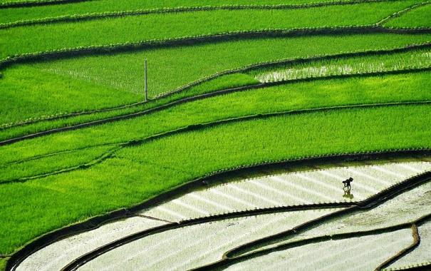 Фото обои поля, Китай, рис, посевы