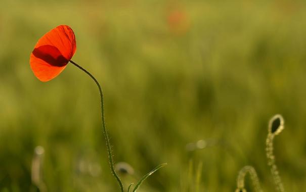 Фото обои поле, цветок, макро, красный, один, лепестки, Мак