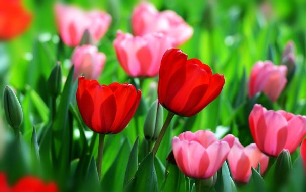 Фото обои красный, весна, тюльпаны, бутоны