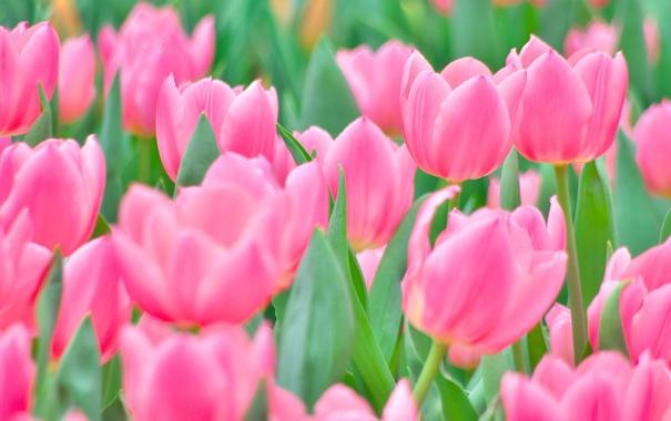 Фото обои тюльпаны, розовые, бутоны