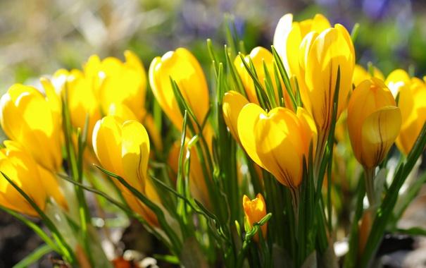 Фото обои желтый, крокус, шафран