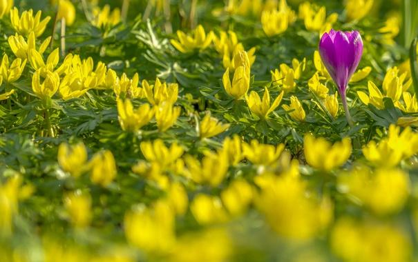 Фото обои весна, крокус, боке, весенник зимующий