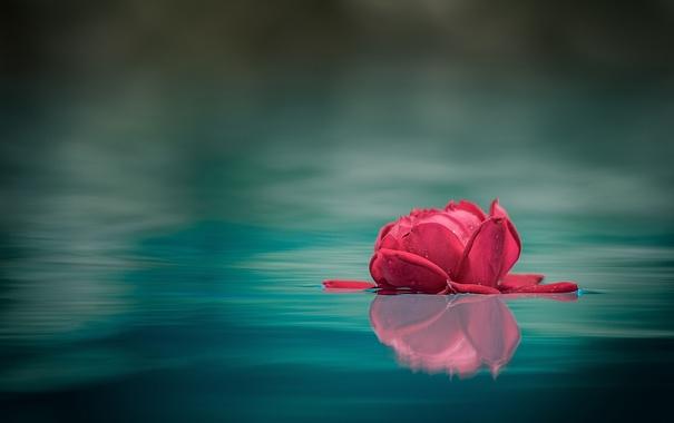 Фото обои вода, макро, отражение, роза, бутон