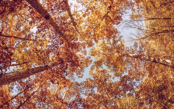 Фото обои осень, листья, деревья, листва, желтые, оранжевые, крона