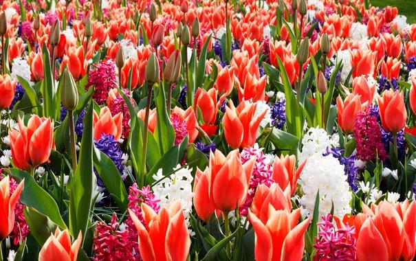Фото обои весна, сад, тюльпаны, клумба