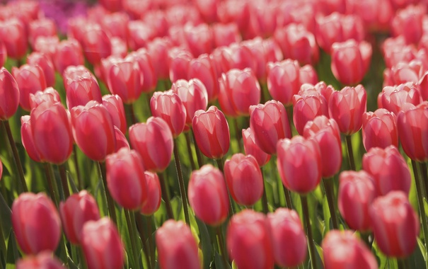 Фото обои поле, цветы, Тюльпаны, field, flowers, tulips