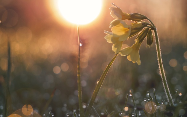 Фото обои солнце, макро, свет, роса, весна, примула