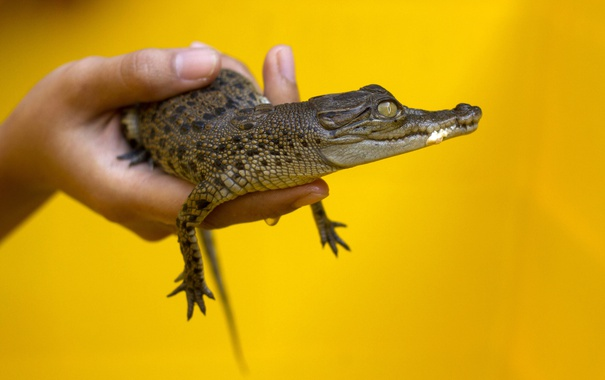 Фото обои yellow, hands, crocodile, small