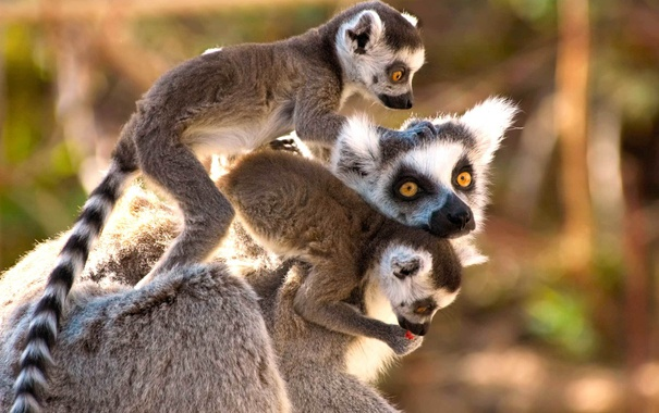 Фото обои Madagascar, lemur, mammal