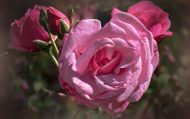 Фото обои роза, куст, лепестки, бутон