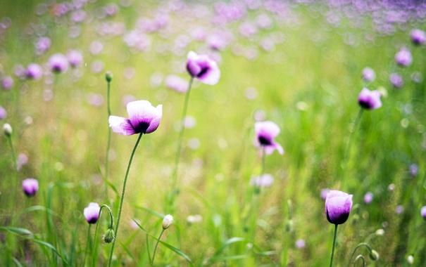 Фото обои поле, цветы, лепестки, размытость, сиреневые, Лён