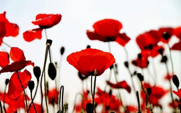 Обои поле, цветы, красные маки картинки на рабочий стол, раздел ...   380x605