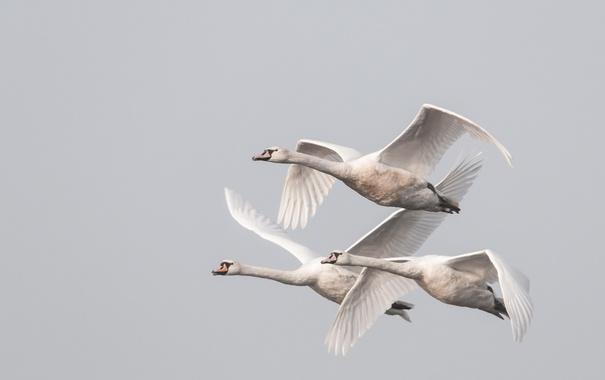 Фото обои птицы, небо, полёт, лебеди
