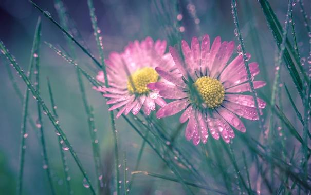 Фото обои трава, капли, макро, роса, дуэт, маргаритки