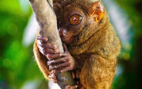 Фото обои глаза, ветка, примат, долгопят
