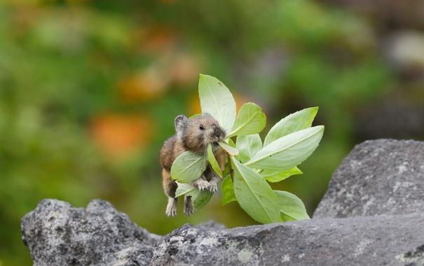 Фото обои прыжок, листочки, травинка, пищуха