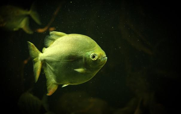 Фото обои рыба, чешуя, зеленая, плавники