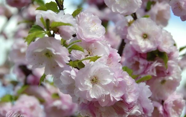 Фото обои ветка, весна, миндаль
