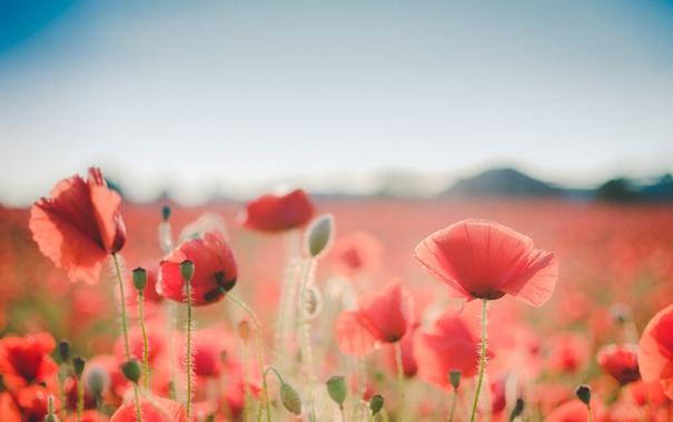 Фото обои цветы, маки, красные лепестки