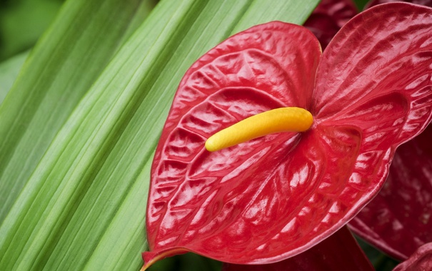 Фото обои макро, красный, фламинго, антуриум