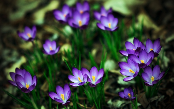 Фото обои весна, крокусы, шафран