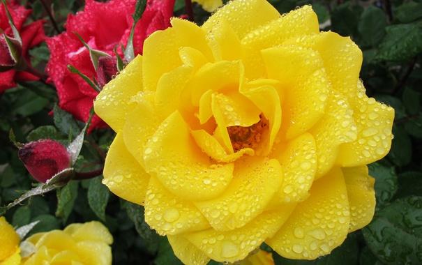 Фото обои капли, роза, жёлтая