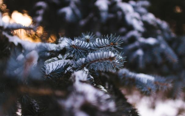 Фото обои зима, снег, иголки, елка