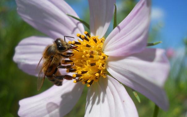 Фото обои цветок, пчела, лепестки, насекомое, космея