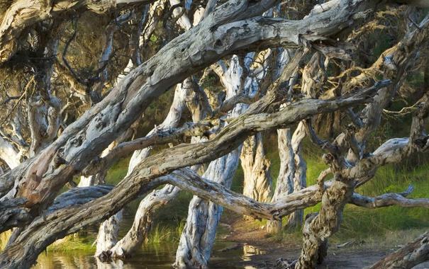 Фото обои лес, деревья, Олбани, Западная Австралия, пляж Нормана, Melaleuca