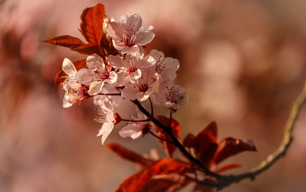 Фото обои цветы, дерево, ветка, весна, цветение