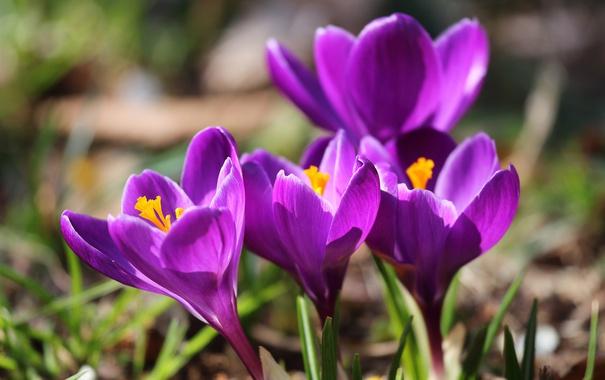 Фото обои макро, весна, крокусы, шафран