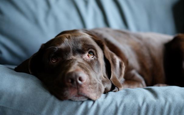 Фото обои sofa, Always Watching, Labrador Retriever