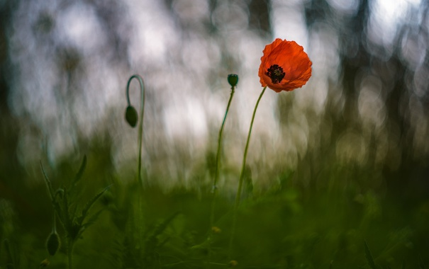Фото обои трава, цветы, природа, мак, боке