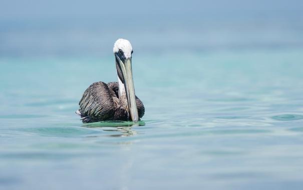 Фото обои природа, птица, Pelican