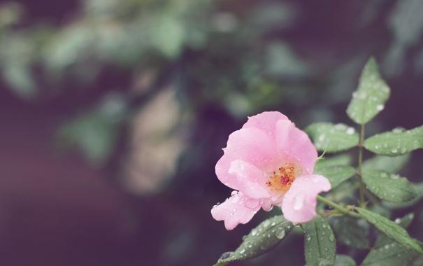 Фото обои цветок, капли, лепестки, розовые