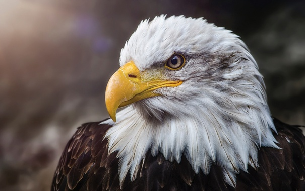 Фото обои птица, портрет, белоголовый орлан