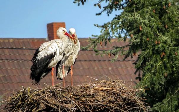 Фото обои аисты, дом, гнездо