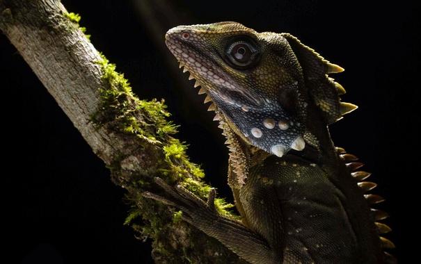 Фото обои Hypsilurus boydii, макро, Австралийский лесной дракон, природа