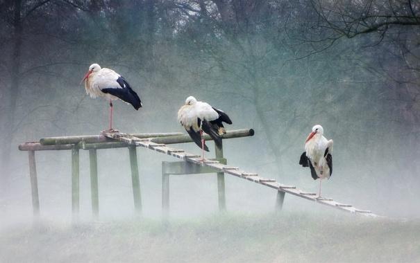 Фото обои природа, туман, аисты